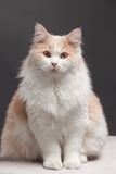 Cat on a grey background Royalty Free Stock Image