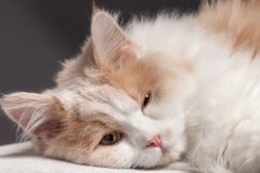 Cat on a grey background Royalty Free Stock Photography