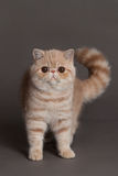 Cat on grey background persian exotic kitten pet with big eyes Stock Image