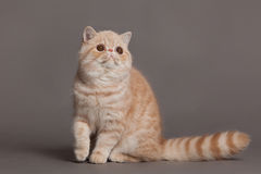 Cat on grey background pets animal Persian cat Royalty Free Stock Photography