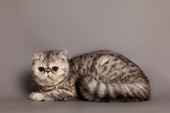 Cat on grey background pets animal Persian cat Royalty Free Stock Images