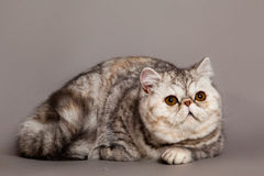 Cat on grey background pets animal Persian cat Stock Image