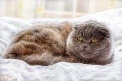 Cat. Grey cat with beautifull eyes lies on the bed Royalty Free Stock Images