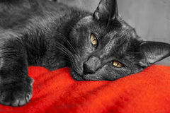 Cat Grey - Gato Gris Immagine Stock