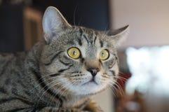 fright striped grey cat emotion Stock Image