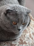 Cat Grey scottishfold is thinking. Gorgeous scottishfold Cat Grey is thinking is my indoor pet model cat stock photos