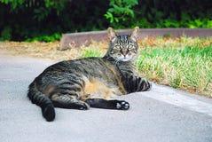 Cat. Grey tabby cat Royalty Free Stock Photo