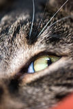 Cat grey and white Royalty Free Stock Photography
