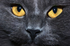 Cat with grey wool. Cat with yellow eyes and grey wool Stock Images