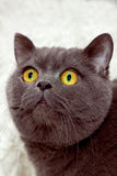 Cat. Grey cat with yellow eyes looking up Royalty Free Stock Image