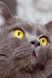 Cat. Grey cat with yellow eyes looking up Stock Photos