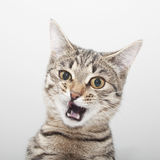 Cat grimace face. Kitten twitch portrait Royalty Free Stock Image
