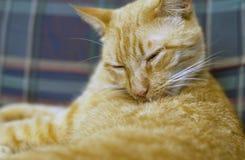 Cat Grooming amarela imagem de stock royalty free