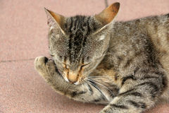 Cat Grooming. Brown tabby cat grooming her paw. Close-up, selective focus stock images