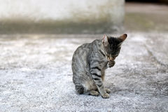 Cat Grooming. Brown tabby cat grooming itself outdoor. Selective focus stock photography