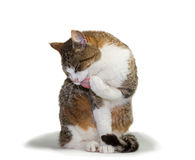 Cat grooming its paw. Pretty domestic cat sitting grooming itself licking its paw with its tongue out and eyes closed in contentment royalty free stock image