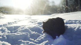 Cat grooming in snow. Cat grooming on snow trail in sun shining stock video