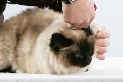 Cat Grooming Royalty Free Stock Image