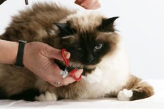 Cat Grooming royalty free stock photography