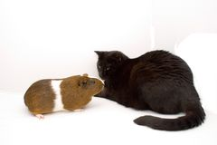 Cat and Guinea Stock Image