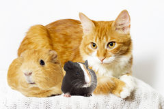 Cat and guinea pig Stock Image
