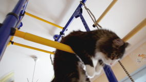 Cat  gymnast stock video
