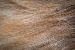 Cat hair Royalty Free Stock Image
