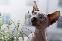 Cat, Hairless Cat, Sphynx, Donskoy Royalty Free Stock Images