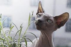 Cat, Hairless Cat, Sphynx, Donskoy Stock Image