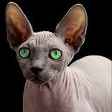 Cat, Hairless Cat, Sphynx, Donskoy Royalty Free Stock Photo
