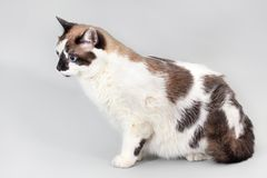 Cat half-breed of snow-shoe on a gray background. The figure of a fat cat in profile, selective focus royalty free stock images