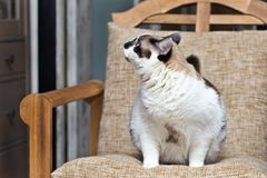 A cat half-breed of snow-shoe sits in a chair in the apartment and looks up to the side. Fat cat figure completely, selective focus stock images