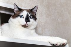 A cat half-breed of snow-shoe sits in a chair in the apartment and looks up to the side. A cat half-breed of snow-shoe looks out of the manhole for cats in the royalty free stock image