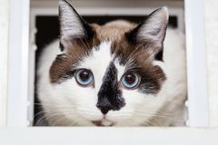 A cat half-breed of snow-shoe sits in a chair in the apartment and looks up to the side. A cat half-breed of snow-shoe looks out of the manhole for cats in the stock photography