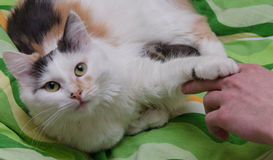 Cat And Hand Photo stock
