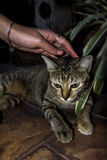 Cat and hand. Chiang Mai city, a cat is resting while a hand is touching him Royalty Free Stock Photo
