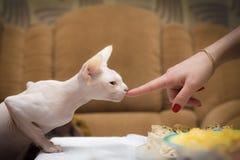 Cat hand Stock Photography