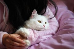 Cat in hand. White cat. pet care.  royalty free stock photography