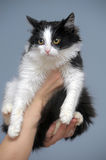 Cat in the hands. Black and white fluffy cat in the hands Royalty Free Stock Photo