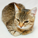 Cat. Handsome young, gray striped cat on a light background stock images
