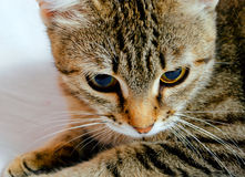 Cat. Handsome young, gray striped cat on a light background royalty free stock photo
