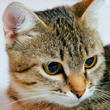 Cat. Handsome young, gray striped cat on a light background stock photography