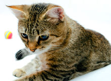 Cat. Handsome young, gray striped cat on a light background stock image