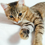 Cat. Handsome young, gray striped cat on a light background royalty free stock photography