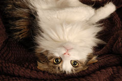 Cat Hanging Royalty Free Stock Photo