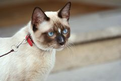 Cat - harness 1 royalty free stock image