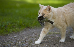 A cat has caught a bird Stock Image