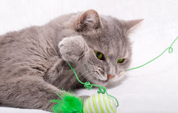 The cat has snapped at a thread from a toy and holds her with a. Paw. White background, close up, small depth of sharpness Royalty Free Stock Images