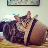Cat in the hat. Cat attempting to wear a hat Stock Photography