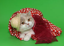 Cat in a hat and a dress. Cat in beautiful clothes on a green background Royalty Free Stock Image
